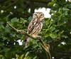 Little Owl Sandy Smith NR 06-07-2016-4057 (seandarcy2) Tags: owl little beds uk sandy smith nr