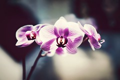 InALittleWhileSurelyYou'llBeMine (BphotoR) Tags: orchid blossom flower blüte spring purple violett bphotor