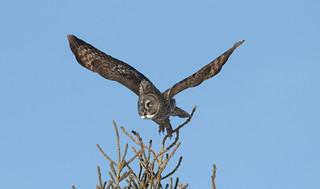 Great Gray Owl  9113