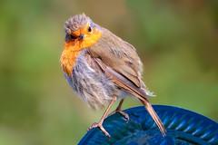 Robin (stevehimages) Tags: steve steveh stevehimages staffordshire wowzers warden robin bird nature red breast 2018 grandpas grandpasden