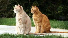 Thing 1 and Thing 2 on Dirt Alert (Kerri Lee Smith) Tags: jimmy mack orangecats gingercats tabby gingertabbies tabbies orangetabbies brothers bros buddies beigecats buffcats explore