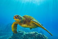 turtle10Mar27-18 (divindk) Tags: cheloniamydas hawaii hawaiianislands malaramp maui scientificname underwater diverdoug endangeredspecies greenseaturtle marine ocean reef sea seaturtle turtle underwaterphotography