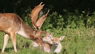 Fallow Deer 271017 (27)