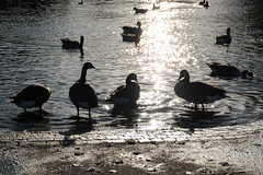 Blackheath geese (Spannarama) Tags: geese birds pond princeofwalespond heath blackheath london uk silhouettes sunshine sunlight water