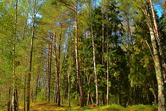 Spruce core and birch-pine edge (МирославСтаменов) Tags: russia protvino forest edge spruce birch pine autumn
