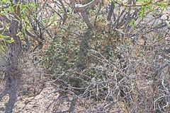 CAE011830a (jerryoldenettel) Tags: 180413 2018 cactaceae caryophyllales coreeudicots donaanaco littlenipplecactus mammillaria mammillariagummiferavarapplanata mammillariaheyderi mammillariaheyderivarbullingtoniana nm nipplecactus pancakenipplecactus rincon roade016 wildflower cactus flower