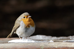 robin (xy5661) Tags: eis robin rotkehlchen winter wintersonne ice