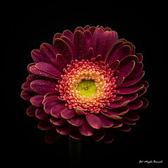 Purple gerbera (Magda Banach) Tags: canon canon80d sigma150mmf28apomacrodghsm blackbackground colors flora flower gerbera macro nature plants purple