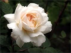 (Tölgyesi Kata) Tags: blossom rosen rosa rosier rose rózsa withcanonpowershota620 füvészkert botanikuskert botanicalgarden fleur virág budapest