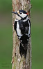 Greatspotted woodpecker (please view large) (Pikingpirate1) Tags: great spotted woodpecker wilbid ngc northern