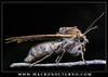 cf. Autographa gamma moth laying eggs (Macronocturno) Tags: cfautographa gamma moth laying eggs polilla huevos poniendo huevo egg lepidoptera insecto insect macronocturno mpe65mm nightshot night nocturna fotografia nocturno