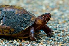 Box Turtle (patrickhale7173) Tags: box turtle tortoise arkansas nature wildlife