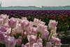 Bloembollenveld (1) (Jan Bogers) Tags: janbogers 2470 d800 bloembollen champ fleur bulbe bulbs flower violet purple bloembol veld tulip tulipe tulp bulbes paars paysbas netherlands field nederland