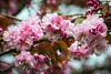 Pretty In Pink (clive_metcalfe) Tags: pink blossom beautiful spring