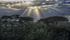 Shortly Before Sundown (AnyMotion) Tags: umbrellathornacacia schirmakazie vachelliatortilis tree baum trees bäume beforesunset vorsonnenuntergang sky himmel sunrays sonnenstrahlen clouds wolken 2018 anymotion lakelagaria ndutuandmaseklakearea ngorongoroconservationarea tanzania tansania africa afrika travel reisen nature natur 6d canoneos6d landscape landschaft landschaftsaufnahmen