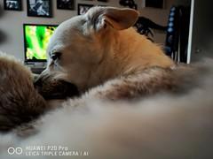 La Chihuahua. (thnewblack) Tags: huawei p20 p20pro leica leicaoptics android smartphone portrait dog chihuahua snapseed f18 10mp