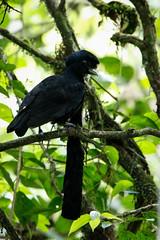 Long-wattled Umbrellabird (S.G.Davis) Tags: ecuador endangered rare umbrellabird longwattled