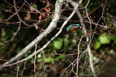 Kingfisher flight through branches with fish (mond.raymond1904) Tags: kingfisher dodder flight fish river dublin bird
