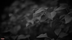 Soft Light On An Overcast Day (MBates Foto) Tags: availablelight blackandwhite botanicals existinglight flora floral garden homeandgarden leaf leaves monochrome nikon nikond810 nikonfx outdoors plants zeisslens spokane washington unitedstates 99203