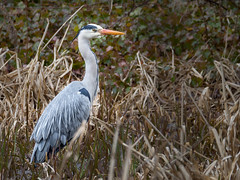Fishing in the Long Grass (roseysnapper) Tags: olympus mzuiko digital ed 75300mm f4867 ii omd em10ii edinburgh heron bird outdoor wildlife grass animal