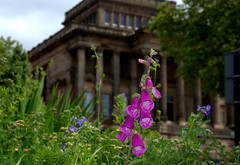 Summer in Preston (Tony Worrall) Tags: preston lancs lancashire city welovethenorth nw northwest update place location uk england north visit area attraction open stream tour country item greatbritain britain english british gb capture buy stock sell sale outside outdoors caught photo shoot shot picture captured harrismuseum harris architecture building built flowers bloom plants foxglove summer