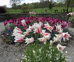 IMG_2822 (Jeanne & Rick) Tags: flamed sizerghcastle tulip