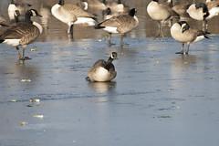 _MG_5482a (Rick_Moeller) Tags: nature wildlife birds stferdinandpark florissant missouri mo outdoors geese canada