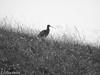 Curlew in monochrome (steveflockton1) Tags: curlew monochrome bird explore black white moorland