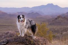 13/52 Purple Mountain Majesty (Jasper's Human) Tags: 52weeksfordogs 52wfd aussie australianshepherd dog desert hike mountain fourpeaks