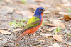 Painted Bunting (Linda Martin Photography) Tags: male naturereserve wildlife nature bird florida polkcounty circlebbarranch passerinaciris paintedbunting us animal coth naturethroughthelens coth5 alittlebeauty fantasticnature ngc npc