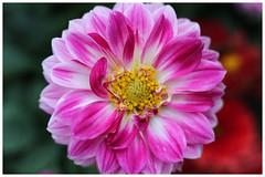 大麗花    Dahlia (Alice 2018) Tags: pink dahlia flower bokeh hongkong 2018 manuallens industar industar61lz50mmf28 canon canoneos6d eos6d m42 efmount adaptor spring aatvl01