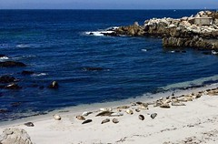 Paciific Grove seal beach (Pete Tillman) Tags: harbor seals