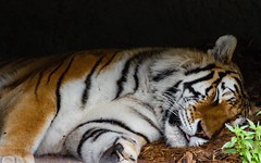 Hidden Danger (Ben_Neal) Tags: nature attack zoo resting wilderness wild professional photographer nikond5600 danger fear tiger