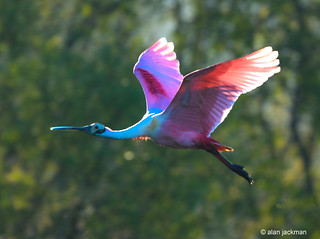 Roseate Spoonbill, Birds of the Circle B Bar Reserve