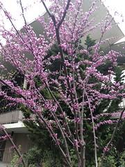 Glory of Redbud (Melinda Stuart) Tags: spring tree buds pink redbud flowers cercis native landscaping uc berkeley campus legends judas easter
