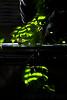 Sunshine on the Kangaroo Ivy 1 (LongInt57) Tags: kangaroo ivy houseplant table glass leaf leaves sunshine window blinds green white black kelowna bc canada okanagan