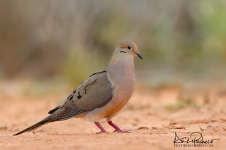 mourning dove colors
