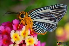 Pale Green Awlet (LindaAlisto) Tags: pale green awlet bibasis gomata lorquini mabille1876 hesperiidae coeliadinae baguio city philippine lepidoptera philep butterflies linda alisto lindzky leps