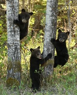 Black bear cubs... the three amigos