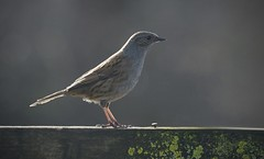 BACK LIT DUNNOCK By Angela Wilson (angelawilson2222) Tags: songbird wild wildlife nature pose nottingham rspb backlit nikon angela wilson angelawilson dunnock