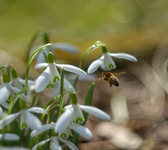 April bee and snowdrops. (agnieszka.a.morawska) Tags: april pszczoła insect bokehlicious beyondbokeh bkhq snowdrop spring bee helios44m helios
