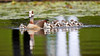 20160903110345_EOS 7DII (AlnWill) Tags: egyptiangoose kirstenbosch damspondsfountainswater cape capetown duck naturewildlife places things westerncape bulbul birds