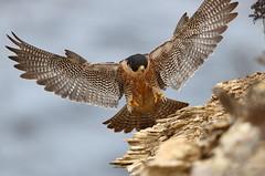 Wing span (charlescpan) Tags: peregrine falcon landing
