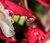 Red and Wet. (Omygodtom) Tags: tamron90mm diamond red water macro bokeh flower flickr close lens dof d7100 digital
