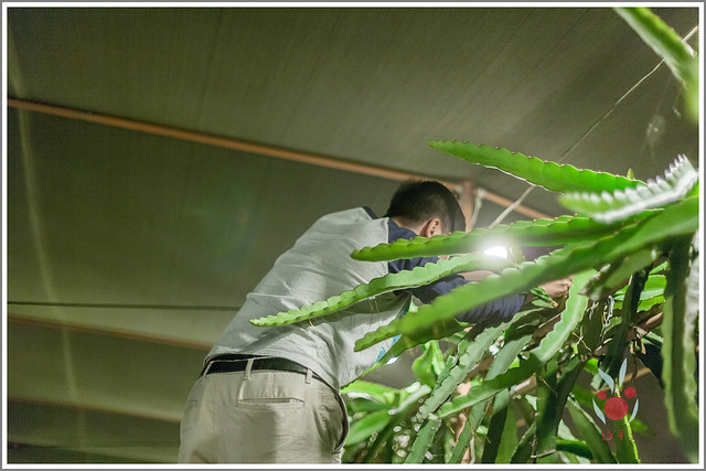 火龍果園星光野餐Ⅱ 找地瓜 烤地瓜 吃地瓜 (38)
