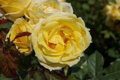 Maig_0086 (Joanbrebo) Tags: barcelona catalunya españa es park parque parc parccervantes garden jardín jardí flors flores flowers fleur fiori blumen blossom rosa rose 17èconcursinternacionalderosesnovesdebarcelona canoneos80d eosd efs18135mmf3556is autofocus