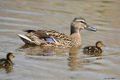 Anas* (Enllasez - Enric LLaó) Tags: anades aves aus bird birds ocells pájaros 2018 cambrils