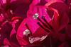 JSM_0794Bougainvillea1jsm (JayEssEmm) Tags: flower flowers macro phoenix arizona az jsmcelvery mcelvery