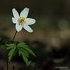 Anémone des bois Sylvie (christian.rey) Tags: vernay fribourg suisse ch anemone nemorosa anémone des bois sylvie fleur blanche flower white blumen weiss sony alpha a7r2 a7rii 24105 beyondbokeh