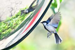 Cinereous Tit 蒼背山雀 (Jeffreycfy) Tags: tits birds birding animals wildlife nature paridae paruscinereus cinereoustit nikon d500 nikkor200500mmf56e tc14eiii 蒼背山雀 山雀科 鳴禽